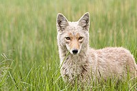 Portrait of a coyote in a meadow of grass in Yellowstone National Park, Wyoming