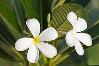 White frangipani flowers  Scientific name: Plumeria obtusa  Langkawi island, Malaysia