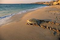 Asia,Oman,Ras el Hadd,Turtles Beach Reserve,eggs deposition time