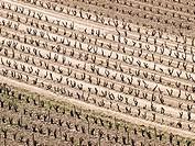 Plantación de viñas en invierno en la Rioja Alta - Briñas - La Rioja - España