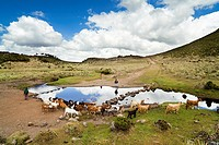 Goat and horse herd tended by oromo children near Kotera Plain  The Bale Mountains NP is known for one of the last populations of the Ethiopian Wolf c...