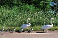 Finland, Aland Islands, Eckero, Swan crossing