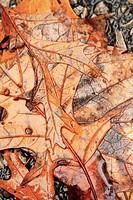 wet fallen autumn oak leaves, orange-brown, Indiana