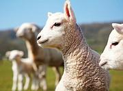 Portrait of a lamb in a field in south Wales, UK