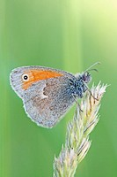 Small Heath Coenonympha pamphilus on end of grass tuft  Green background