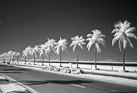 Palm Trees in Infrared on the Malecon. Cienfuegos, Cuba