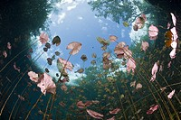 Water Lilies in Car Wash Cenote Aktun Ha, Tulum, Yucatan Peninsula, Mexico