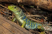 "Ocellated lizard """"Timon lepidus"""" in Barranco del Cabrerizo area, Albarracin mountain range, Teruel, Aragon, Spain"
