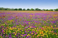 A field of multi-colored spring flowers near New Berlin, Texas, USA