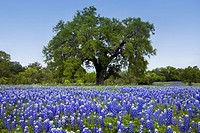 A large tree in a meadow of Texas bluebonnet wildlfowers in the hill country near Llano, Texas, USA.
