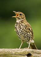 A close up bird portrait of a song thrush singing turdus philomelos
