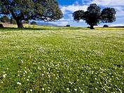Encinas y prados repletos de flores - Dehesas de Granadilla - Granadilla - Cáceres - Extremadura - España