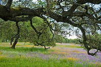 Wildflowers and oaks in a meadow, Santa Olalla del Cala, Huelva province, Andalusia, Spain