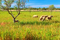 Sheeps eating in a field of grass in the island of Formentera Baleares, Spain