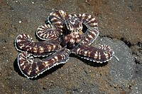 Long-armed octopus: Mimic octopus Octopus sp  Unplaced species  Lembeh Strait, North Sulawesi, Indonesia  Distribution: Red Sea to at least New Caledo...