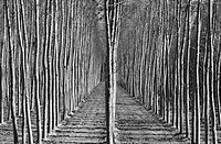 Stands of poplar trees near Alhama de Granada in Granada province, Southern Spain