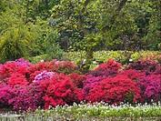 azalea,arboretum,gand,belgium