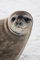 Crabeater seal on iceberg, Antarctica