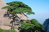 Huangshan pine tree, Huangshan Mount Huang, Anhui province, China