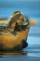 A male Grey Seal Halichoerus grypus scratching his face on the beach, North Sea, Donna Nook, Linconshire, UK