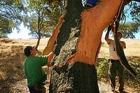 Cork stripping is the process of removing the bark off of the cork tree, Hornachuelos, Cordoba province, Andalusia, Spain