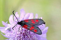 Five Spot Burnet, Zygaena trifolii on scabious  Insect which is very high in Prussic acid, but through self-manufacture rather than absoption through ...