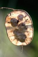 A close up of an Annual Honesty Lunaria annua seed pouch