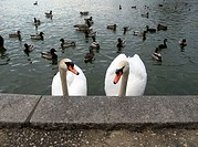 A pair of swans in a lake in Brooklyn, NY