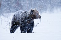 Eurasian Brown Bear during heavy snowfall  Spring 2010  Martinselkonen, Finland