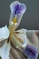 A white and purple iris against a tan and grey background