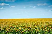 Ukraine, Crimean region. sunflowers field under the blue sky