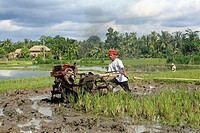 a farmer ploughing a flooded rice paddy, near Ubud, Bali, Indonesia