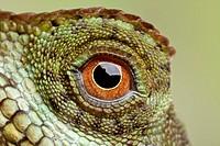 Mountain Horned Lizard (Acanthosaura crucigera), Asia