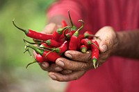 Farmer hand holding red hot chili peppers