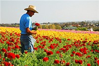 Worker, Carlsbad Flower Fields, California