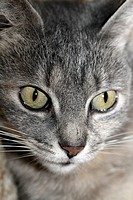 Close-up of a house cat´s face