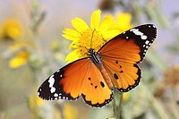 Plain Tiger Danaus chrysippus AKA African Monarch Butterfly shot in Israel, October