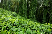 Kudzu at Fort Dickerson Park, Knoxville, TN