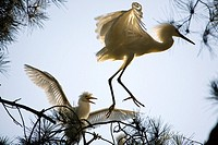 Snowy Egret Egretta thula parent attempts to escape hungry chick near San Francisco, California  This colony of egrets chose to mate, breed and birth ...