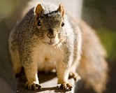 Fox Tree Squirrel (Sciurus niger)