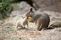 California Ground Squirrel (Spermophilus beecheyi) baby attempts to recover its food from an adult squirrel at Alameda´s Crown Beach, part of the East...