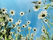 meadow with oxeye daisy, margherites, low angle shot, worm´s eye view