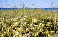 Honeysuckle grows on the dunes, Long Beach Island, New Jersey, USA.
