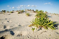 A march of green plants up a hill on the dunes, Long Beach Island, New Jersey, USA.