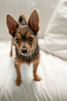 Portrait of Small Dog