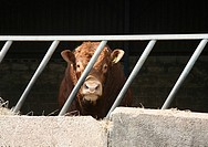 A Hereford Bull with a ring in it´s nose in a pen