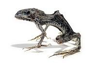 Mummified dead frog.