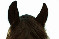 ´I´m all ears´ - closeup of head of black stallion