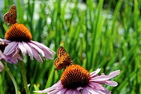 Two orange and black butterflies on Purple Coneflowers