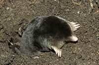 Iberian blind mole Talpa occidentalis  Captive